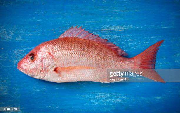Raw red snapper lying on blue painted wooden surface