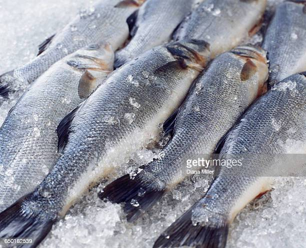 Raw whole sea bass on crushed ice