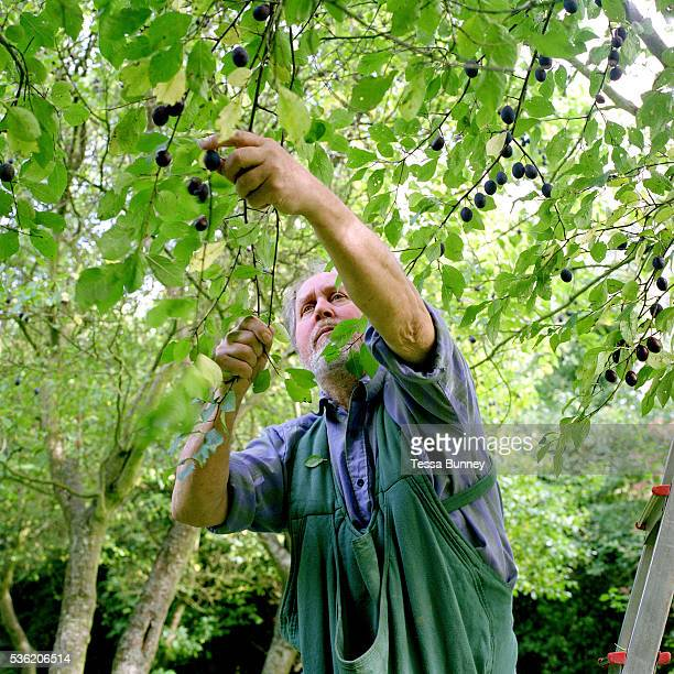 Ray Davies harvests damsons in his orchard at Garden House in Reeth Swaledale Yorkshire Dales North Yorkshire UK Once the crop is harvested the fruit...