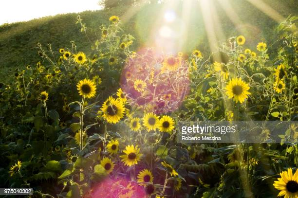 A ray of light between sunflowers