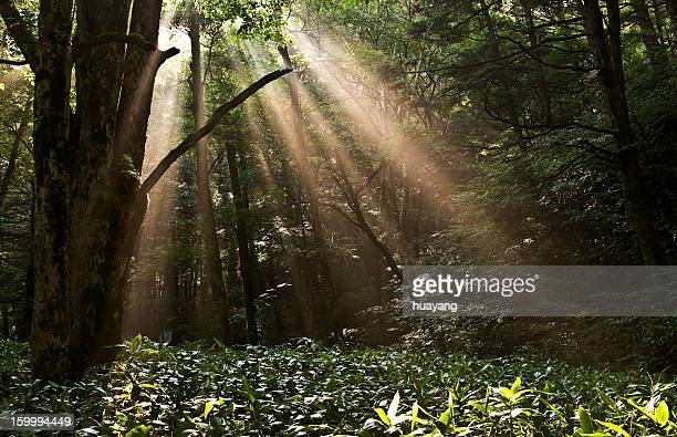 Ray of sun shining through forest of Kamikochi