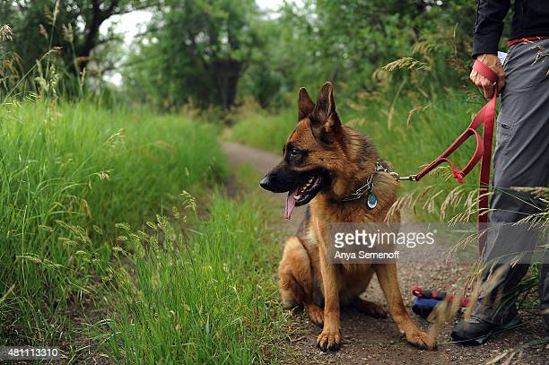 Rayna a threeyearold German shepherd sits on a trail at the Marjorie Perry Nature Preserve with her owner Rhonda Buder on July 8 in Greenwood Village...