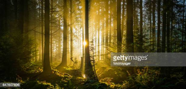 Rays of golden sunshine streaming through idyllic forest glade panorama