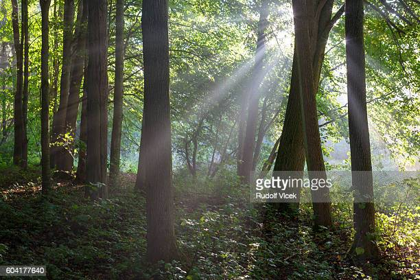 Rays of light (sunbeams) coming through treetops in a forest