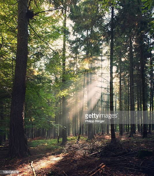 rays of light in a forest - bad homburg stock pictures, royalty-free photos & images