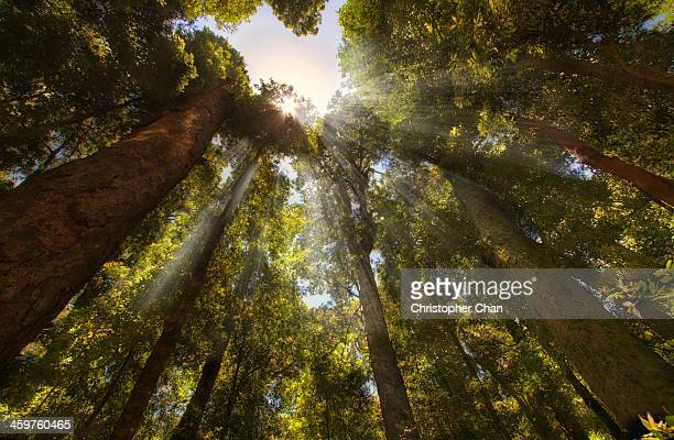 Rays of light shining through forest canopy