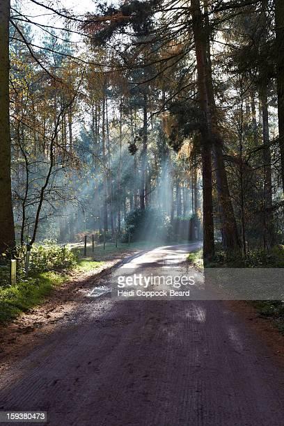 rays of light through a forest - heidi coppock beard stock-fotos und bilder