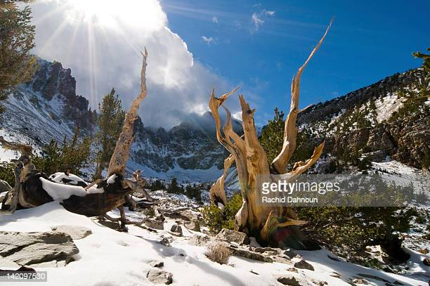 Rays of sun penetrate the clouds illuminating several bristlecone pine trees in the Wheeler Peak Grove in Great Basin National Park, NV.