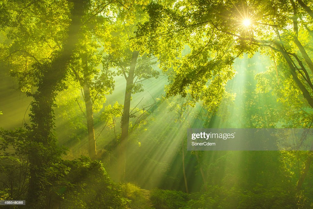 Rays of sunlight and Green Forest : Stock Photo