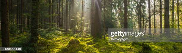 rays of sunlight beaming through idyllic mossy forest clearing panorama - forest floor stock photos and pictures