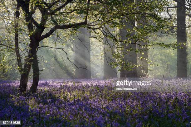 rays of sunlight enter this bluebell forest in norfolk - 英国ノーフォーク ストックフォトと画像