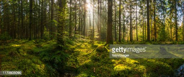rays of sunlight streaming through mossy forest clearing woodland panorama - forest stock pictures, royalty-free photos & images