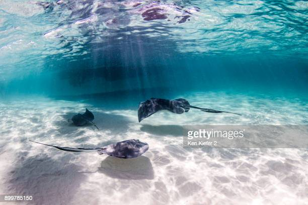 Rays swimming close to seabed