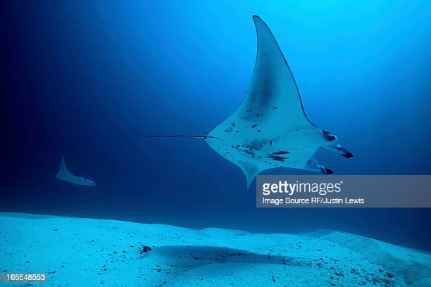 rays swimming underwater - stingray stock photos and pictures