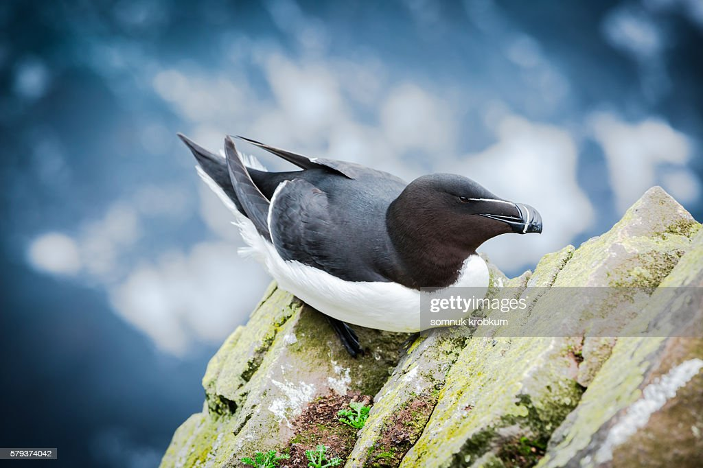 A Razorbill standing on grassy cliff edge;Iceland. : Stock Photo