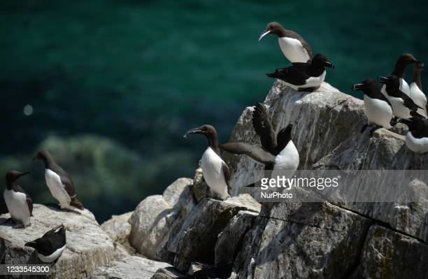 Razorbills and Guillemots seen during the breeding season on the Great Saltee Island. The Saltee Islands are made up of two uninhabited little...