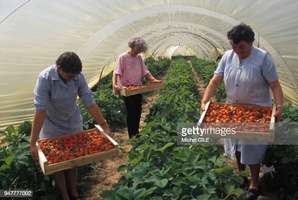 Récolte des fraises dans une plantation de la Sarthe France