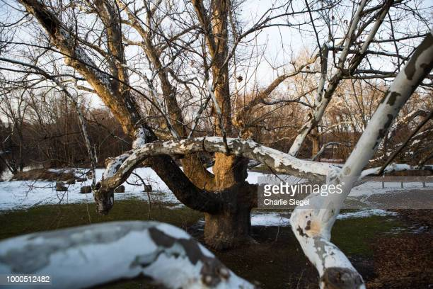 Reaching Branches of the Pinchot Sycamore