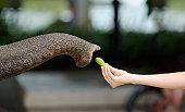 Reaching for Food - Feeding an Elephant (XXXL)