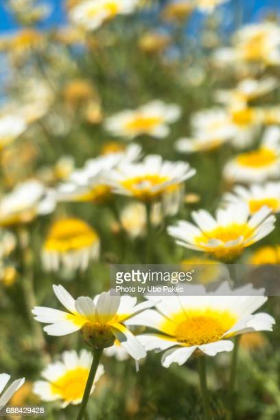 reaching out for the sky - chamomile tea stock photos and pictures