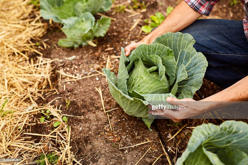 Ready for harvest! : Stock Photo