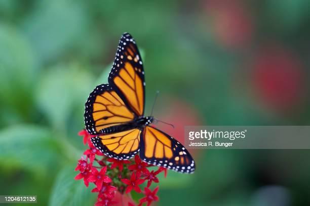 ready for take off - mariposa monarca fotografías e imágenes de stock