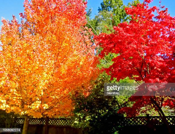 ready steady go - japanese maple stock photos and pictures