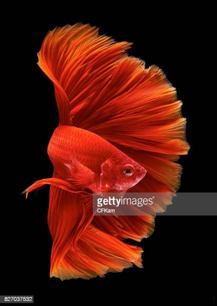 ready to attack - poissons exotiques photos et images de collection
