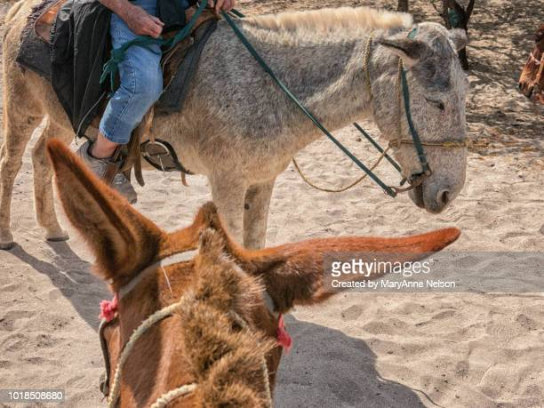ready to ride and looking at another burro - mexican riding donkey stock photos and pictures