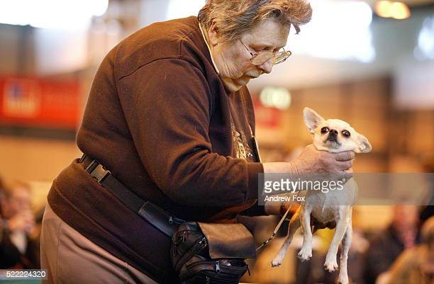 readying a chihuahua - crufts stock pictures, royalty-free photos & images