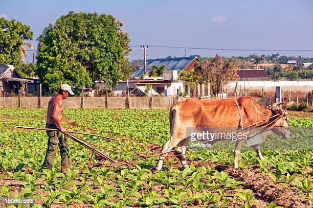 real cuban farmer at a tobacco plantation - landbouwgrond stockfoto's en -beelden
