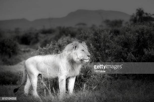 Real King Young Lion at wild