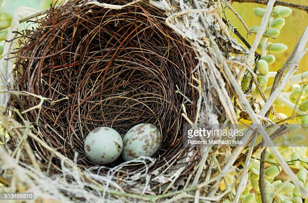 Real mourning dove or Zenaida macroura nest spotted in the wilderness This birds mate for life