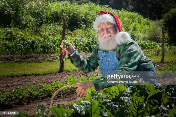 Real Santa Claus gardening a radish in his farmer outfit.
