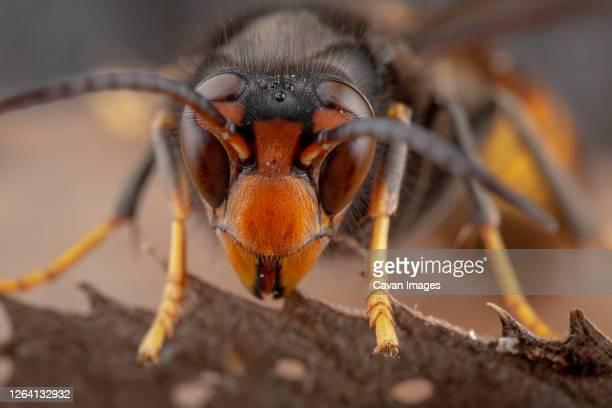 real vespa velutina or assian wasp macro - nido di vespe foto e immagini stock