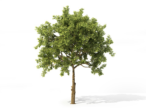 Realistic apple tree full of leaves isolated on a white. 3d illustration 928388068