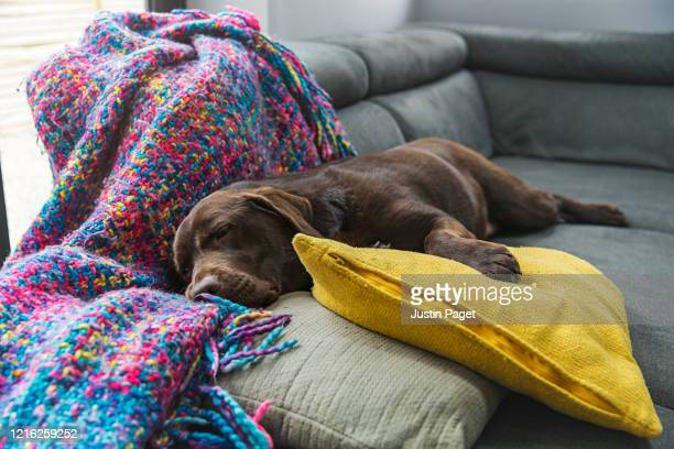 a really really comfortable dog on the sofa - blanket stock pictures, royalty-free photos & images