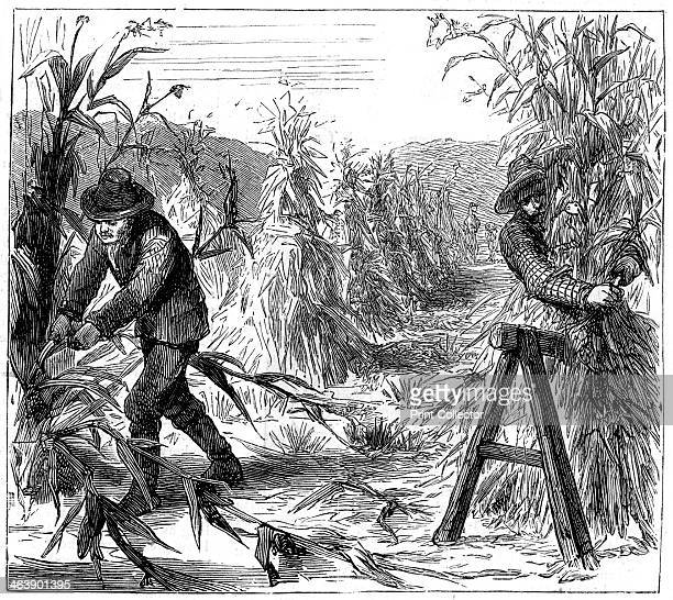 Reaping and socking-up corn to dry, Lake Drie, Canada, 1880. A print from The Graphic, 29th May 1880.