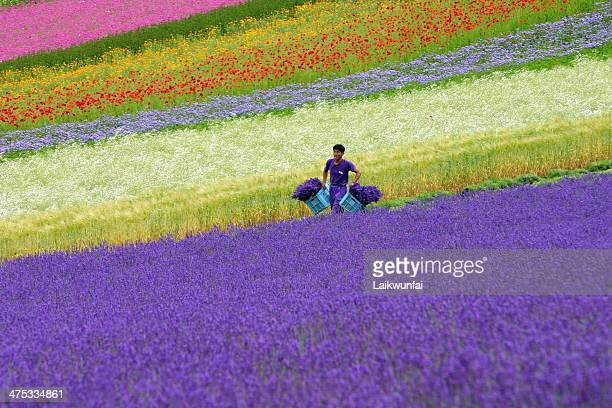 reaping in Lavender field