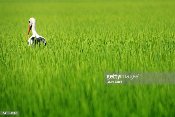 Rear sight of stork standing in green rice field
