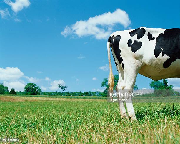 Rear View of a Cow Standing in a Field