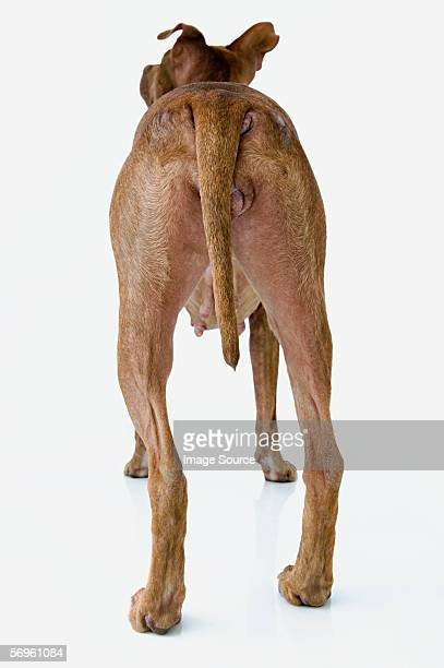 Rear view of a dog
