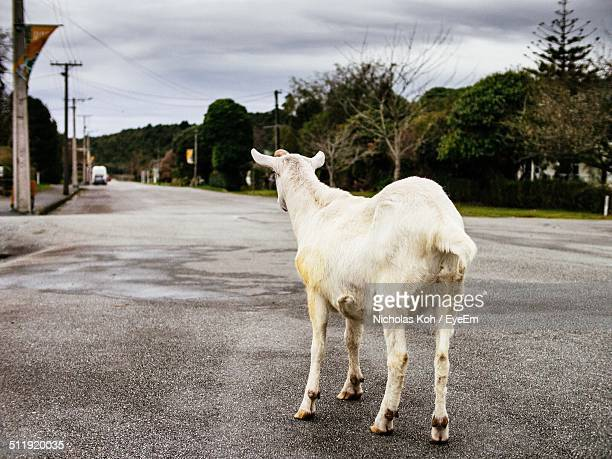 Rear view of a goat standing on road