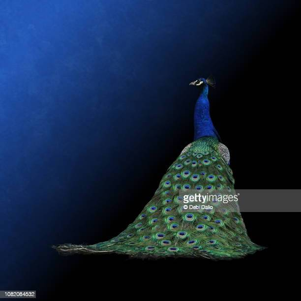 rear view of a male peacock - peacock stock pictures, royalty-free photos & images