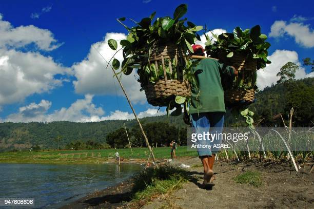rear view of a man carrying basket full of leaves and walking on coastline Bali Batur Lake Indonesia