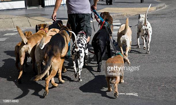 rear view of a man walking a group of dogs - large group of animals stock pictures, royalty-free photos & images