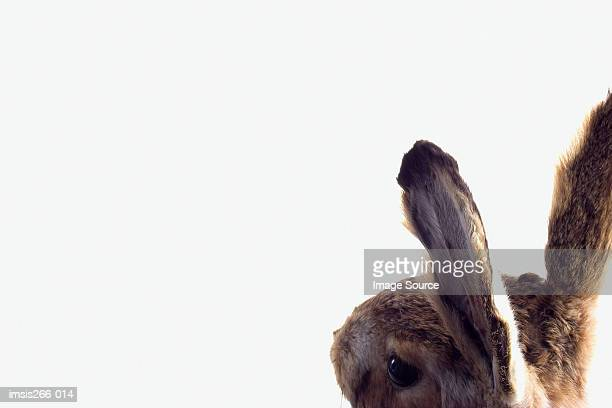 rear view of a rabbit - animal ear stock photos and pictures