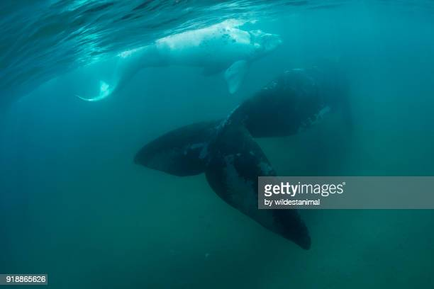 rear view of a southern right whale mother and her white calf as they swim away in shallow water, valdez peninsula, argentina. - duroni foto e immagini stock