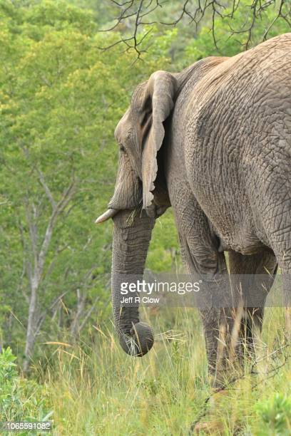 rear view of a wild elephant feeding in africa - wildlife reserve stock pictures, royalty-free photos & images