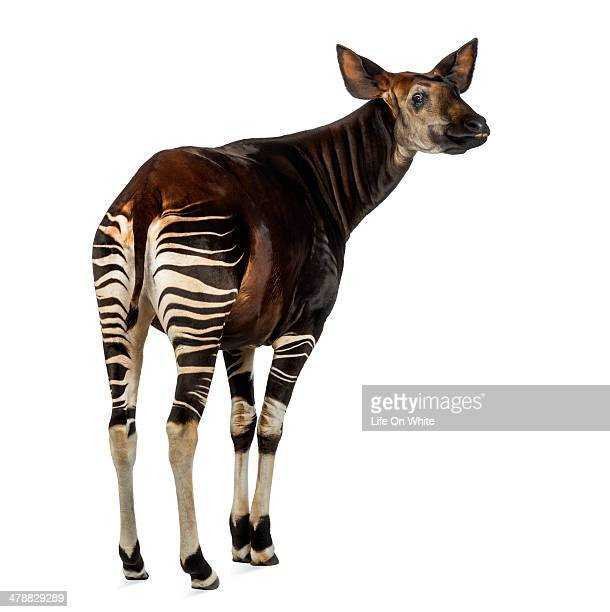 rear view of an okapi looking up, okapia johnstoni - okapi stock pictures, royalty-free photos & images